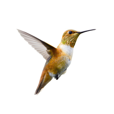 hummingbird isolated on white background.