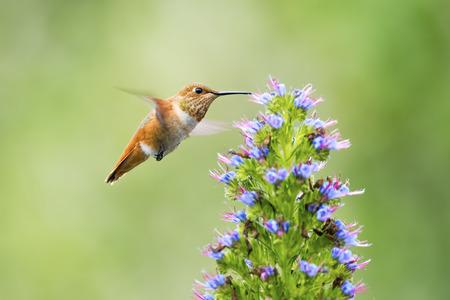 garden flowers: Hummingbird feeding on Pride of Madeira Flowers.