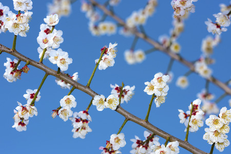 early blossoms: Plum blossoms in early spring Stock Photo