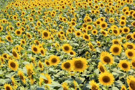 hot summer: Sunflower field in very hot summer day, Foto de archivo