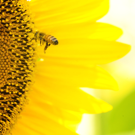 honeybee: A honeybee flying for a sunflower pollen. Stock Photo