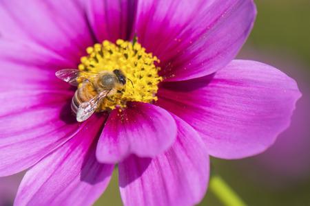 honeybee: Honeybee on Pink Cosmos Flower Stock Photo