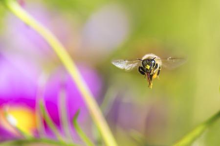 honeybee: A honeybee flying toward here.