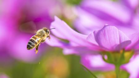 honeybee: Honeybee pollinating pink cosmos flower. Stock Photo