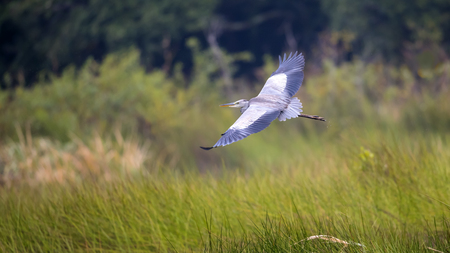 gray herons: Blue Heron in flight above grassy marsh.