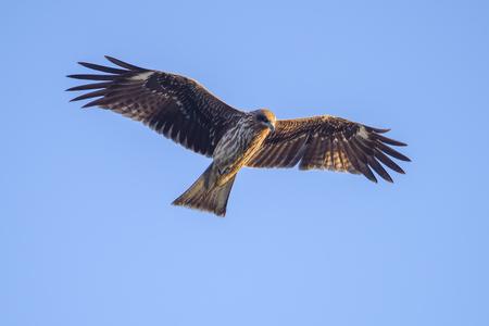 Black kite flying against clear sky.