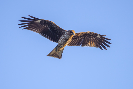 black kite: Black kite flying against clear sky.