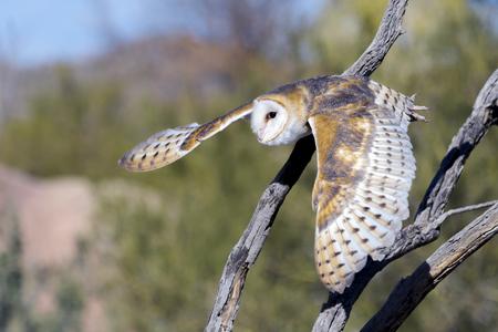 Barn owl flying in desert.