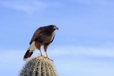 saguaro cactus: Harris Hawk perching on a saguaro cactus.