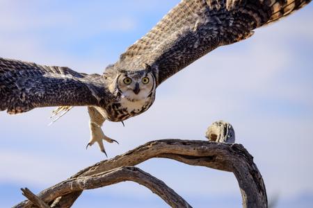 Great horned Owl flying off. Foto de archivo