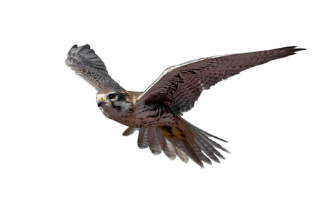 Prairie Falcon in de vlucht (geïsoleerd) Stockfoto