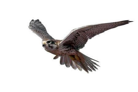 Prairie Falcon in flight (isolated) Archivio Fotografico