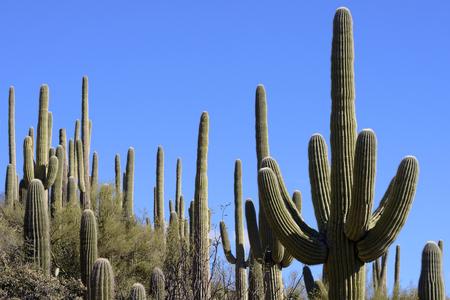 saguaro cactus: Desert landscape with giant saguaro cactus and blue sky.