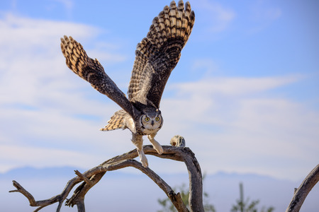 Great horned Owl flying off. Stock Photo