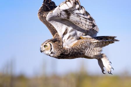 horned: Great horned Owl in flight.