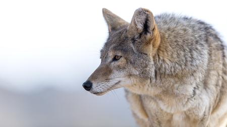 Close Up Bild von Coyote