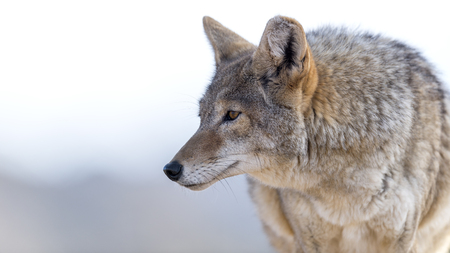 close up image: Close Up image of Coyote