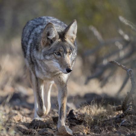 snouts: Coyote walking through desert bushes.Anima,l trail,