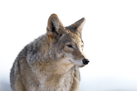 Close Up image of Coyote
