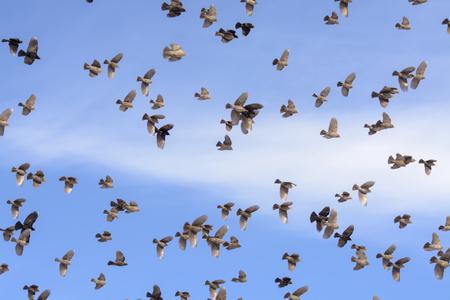 A flock of Yellow-headed  Blackbirds.