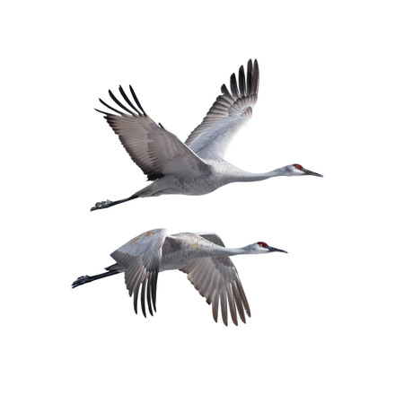 flapping: Sandhill Cranes flying, isolated on white.