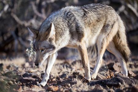 coyote: Coyote walking through desert bushes. Stock Photo