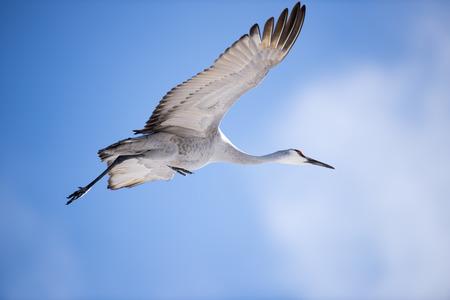 sandhill crane: A Sandhill Crane in Flight.