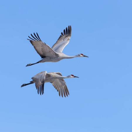 wildlife refuge: Sandhill Cranes flying in Bosque del Apach National Wildlife Refuge, New Mexico