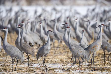 sandhill crane: Flock of Sandhill Cranes in the snow-covered corn field,