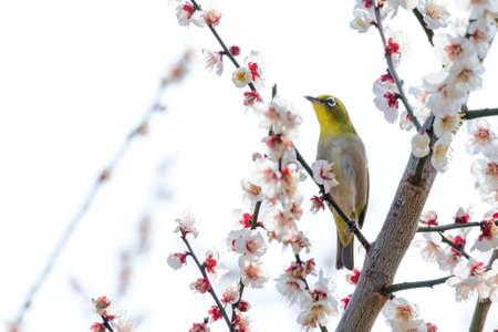perching: Japanese White-eye bird perching on plum branch. Stock Photo