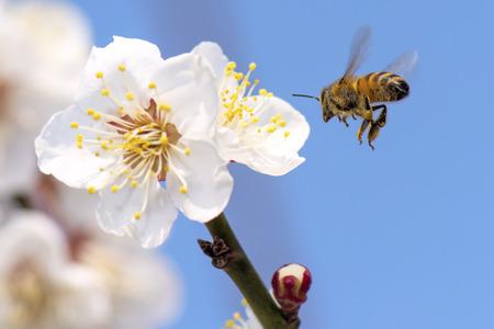 honeybee: Honeybee flying to plum flower
