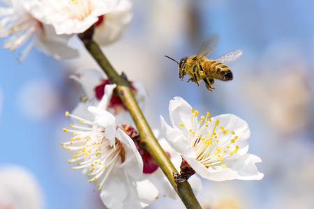 beneficial insect: Honeybee flying to plum flower