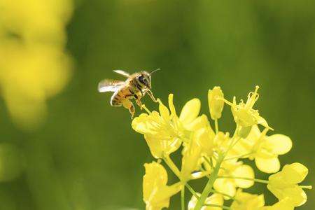 Honey Bee collecting pollen on yellow rape flower. Stockfoto