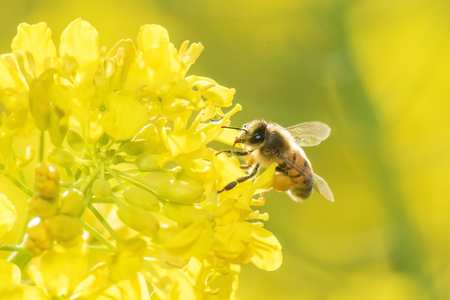 Honey Bee collecting pollen on yellow rape flower. Stock Photo