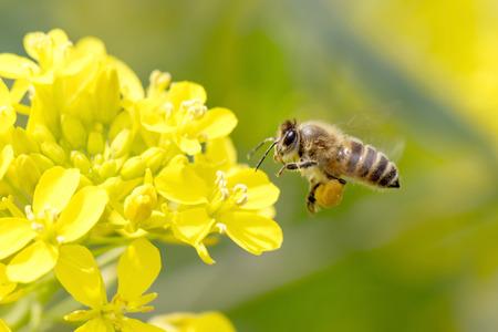 ミツバチが黄色の花に受粉します。 写真素材