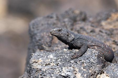 Chuckwalla Lizard sunning on lava rock.