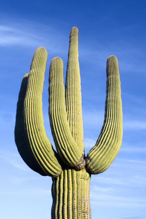 saguaro cactus: Low Angle View Of Saguaro Cactus Stock Photo