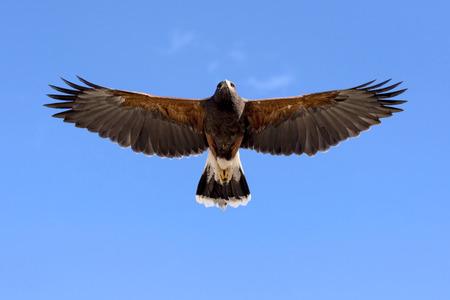 明確な青空飛行中ハリス ホーク。