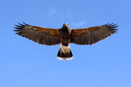 Harris Hawk in flight against clear sky.