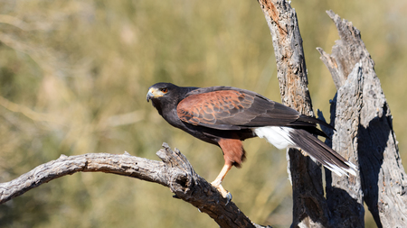 Harris Hawk perching on a dead tree branch.