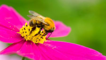 Bumblebee (Bombus diversus diversus0  Shizuoka, JAPAN