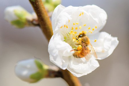 Honey bee pollinating on peach blossoms. Stock Photo
