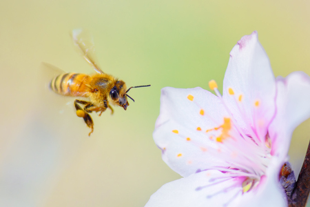 Honey bee pollinating on almond blossoms. Imagens