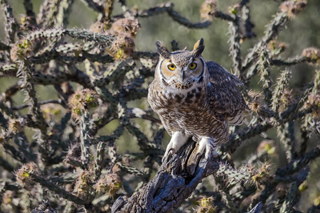 Great Horned Owl in cactus forest.