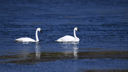 Trumpeter swan in Yellowstone River. Stock Photo