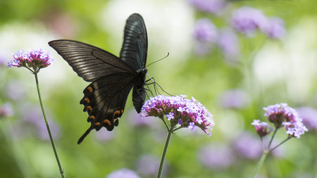 Papilio bianor  feeding on purpletop vervain. Stock Photo