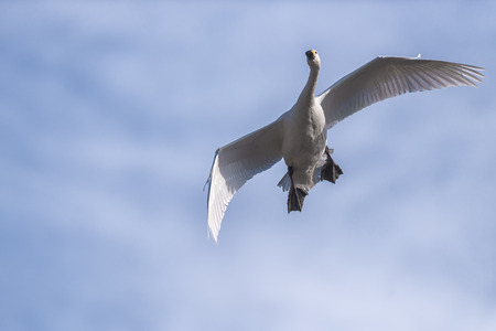 Swan flying on a sunny day.