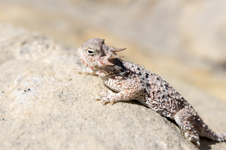 Desert Horned Lizard in Gold Butte National Monument, Nevada, USA. Stock Photo