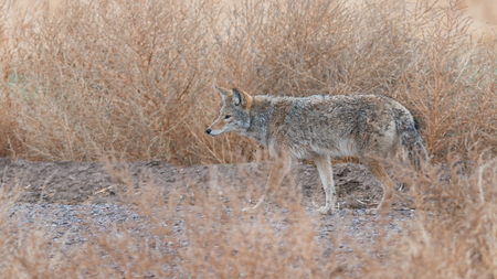 Coyote prowling  on the farm road in Bosque del Apache national wildlife refuge in New Mexico. Stock Photo