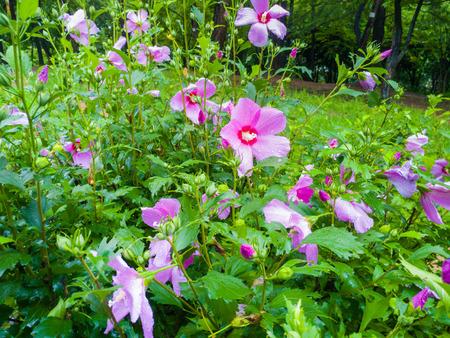 rose of sharon Stock Photo